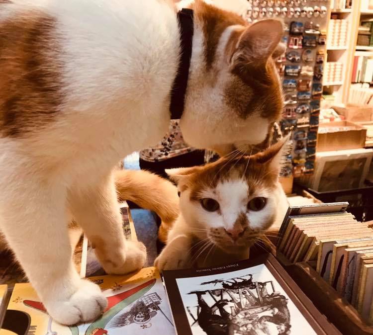 Dos gatos caminando sobre libros en una librería