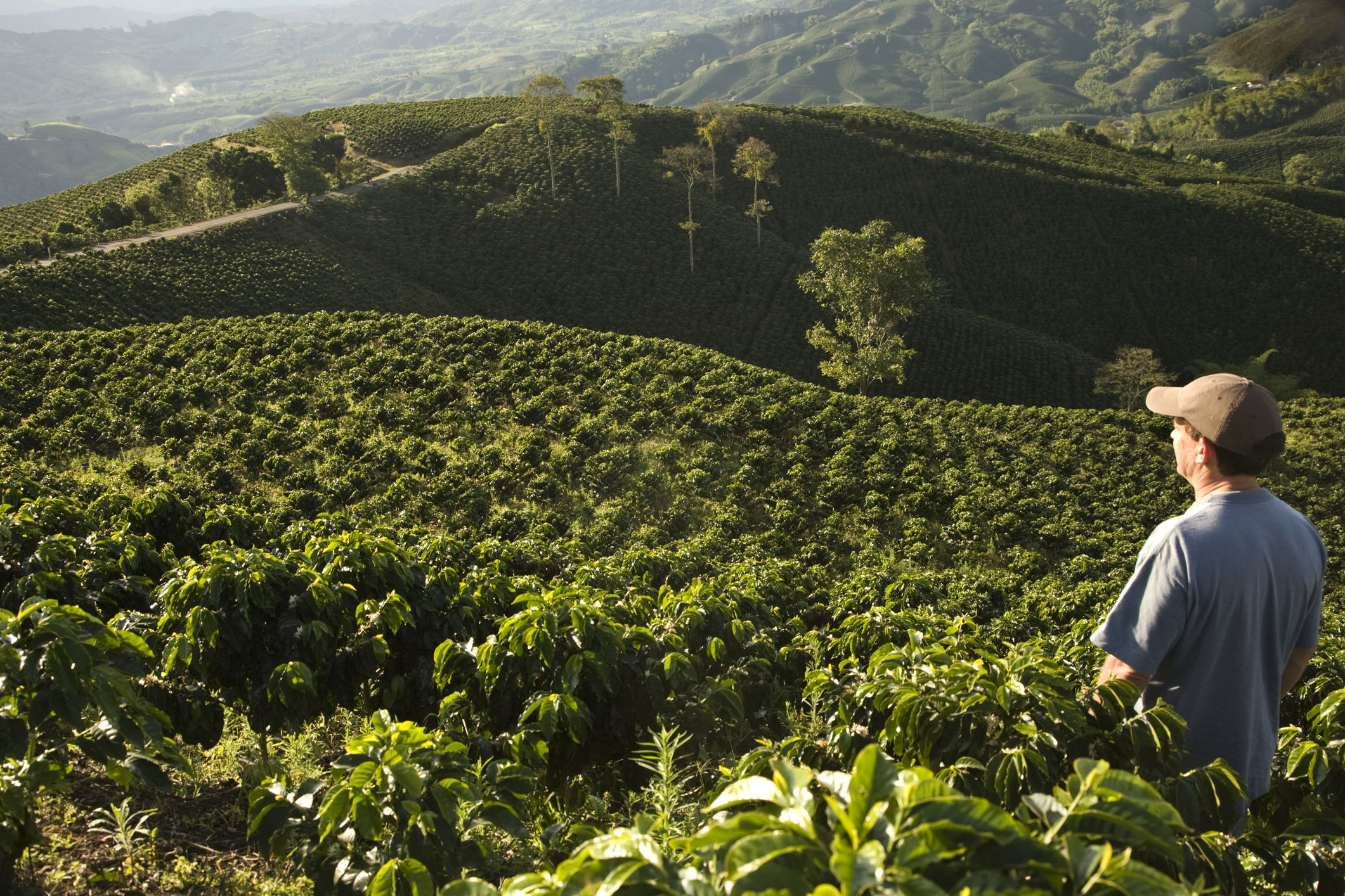 Man standing in coffee field looking at view Manizales, Andes, Colombia, South America