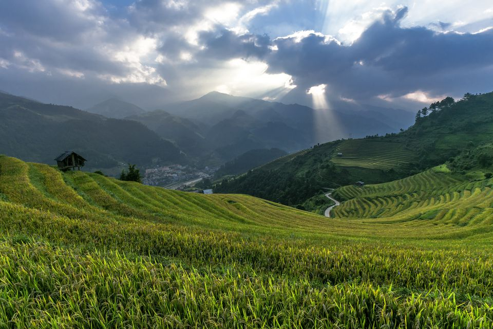Green rice fields in Vietnam in July