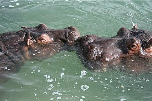 Hippos Kiss
