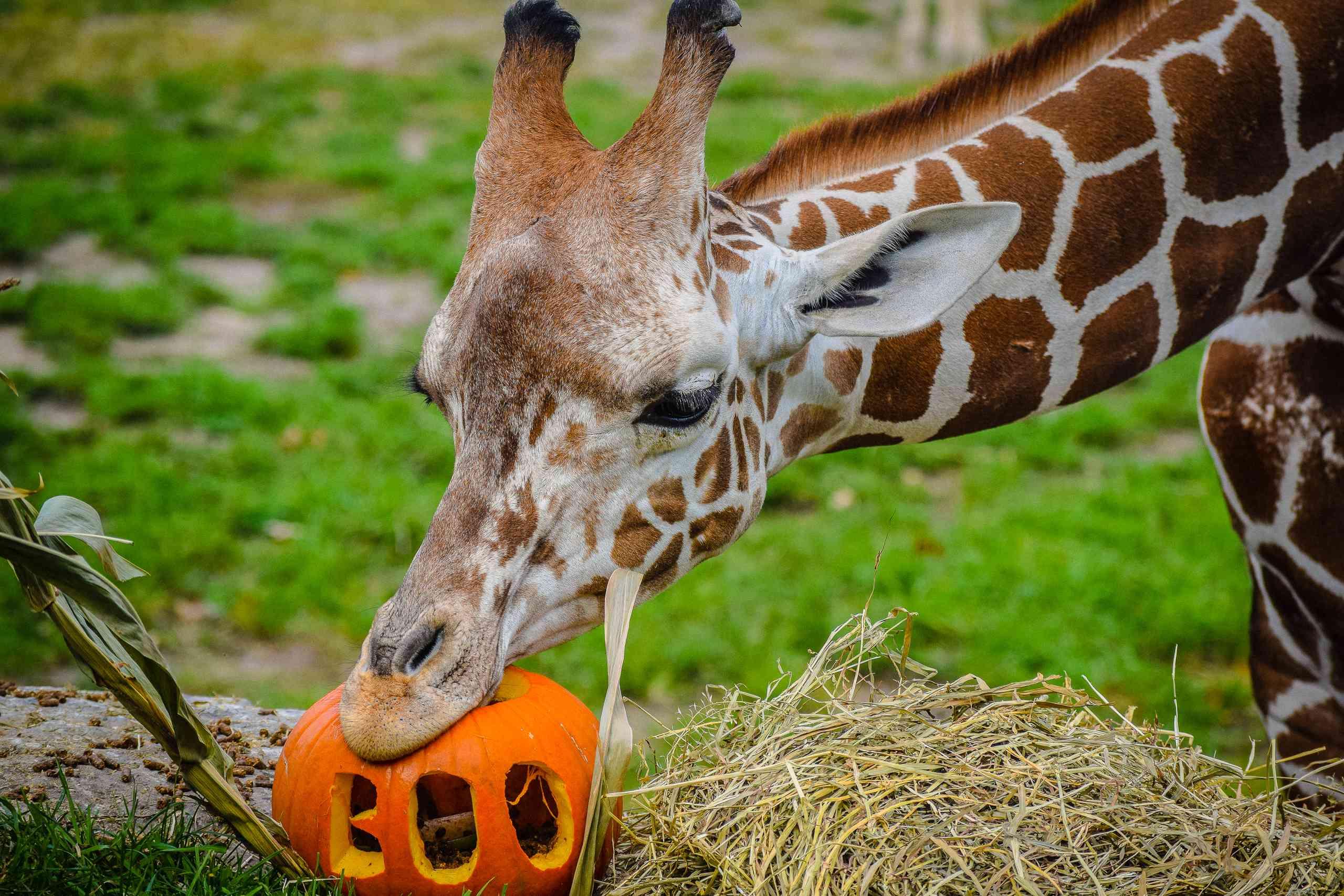 Close-Up Of Giraffe Eating Pumpkin