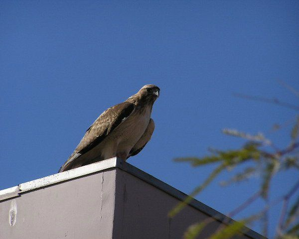 Fuertes Red Tailed Hawk