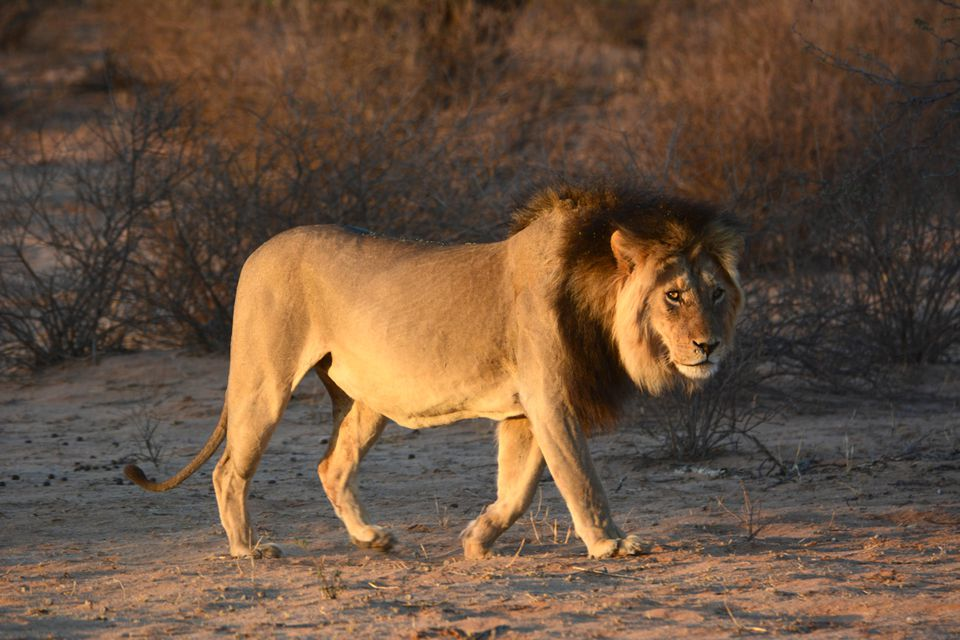Male lion stalking at sunrise, Kgalagadi Transfrontier Park