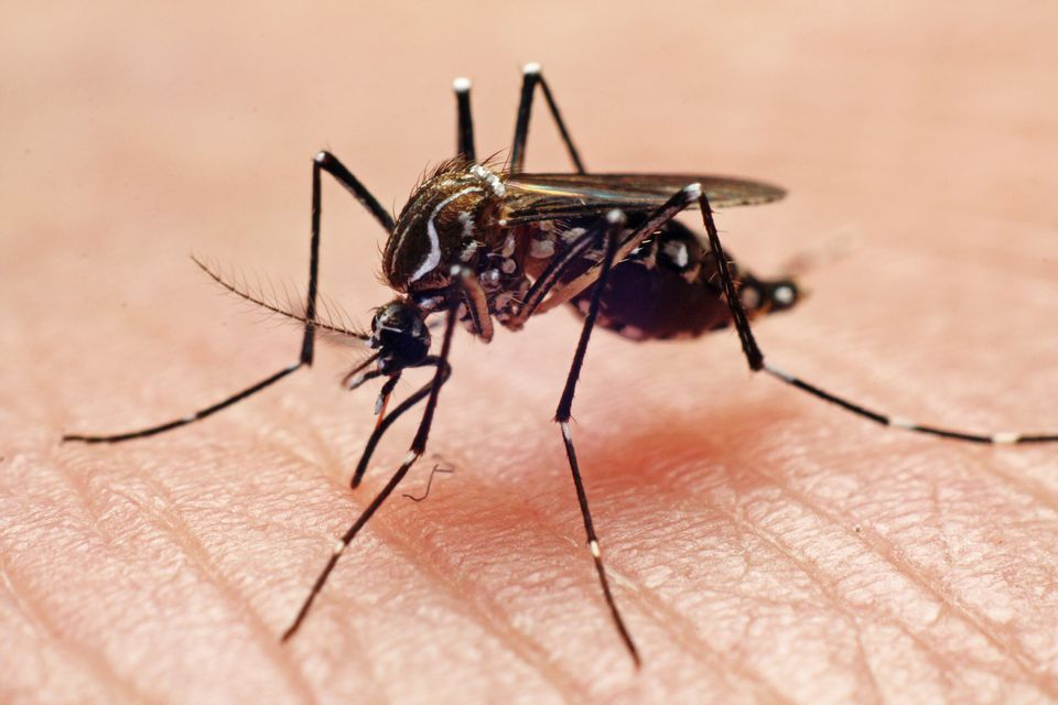 Aedes aegypti Dengue fever vector, mosquito.
