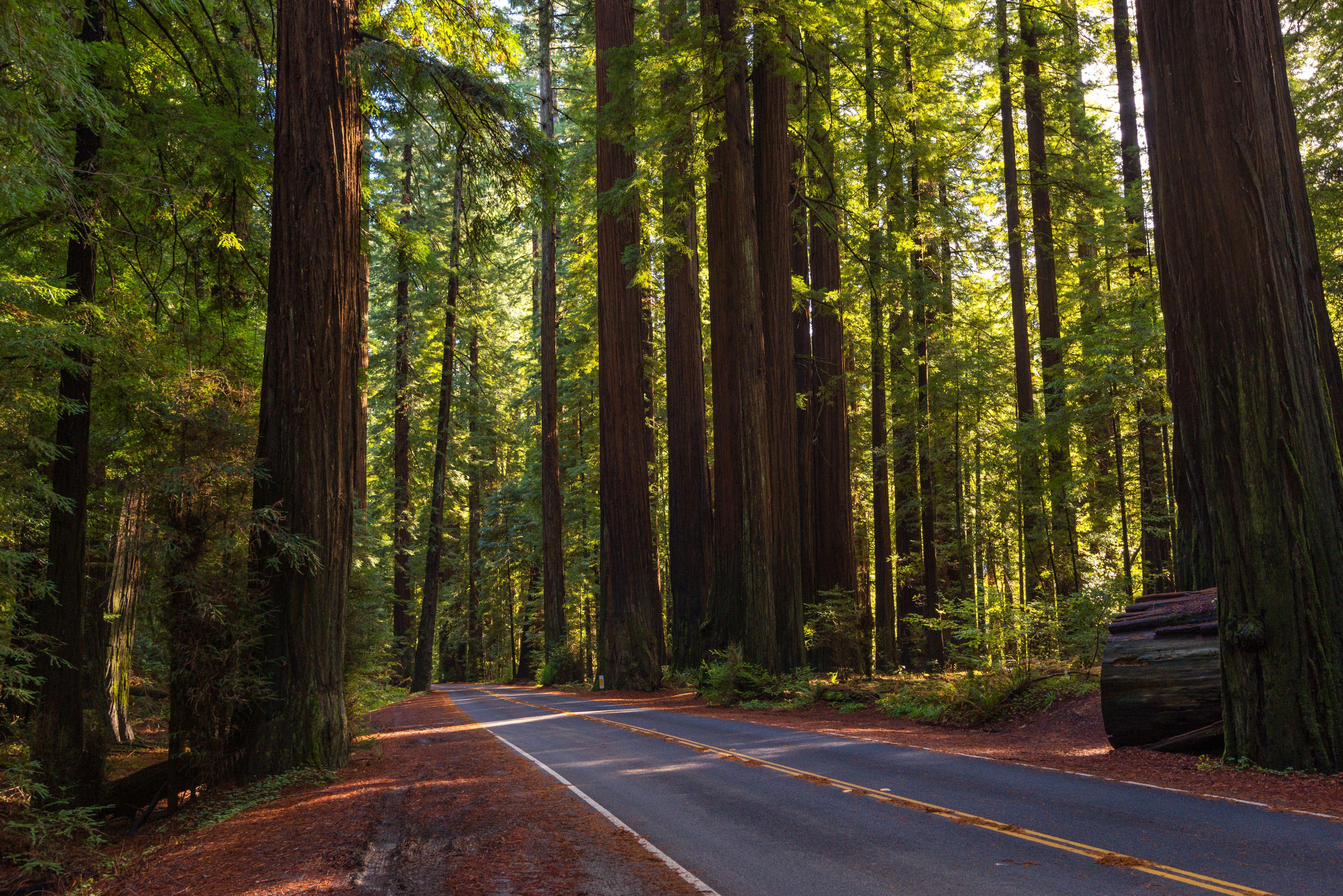 Avenue of giant redwood California