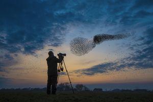 Birdwatcher observing a starling murmuration at dusk