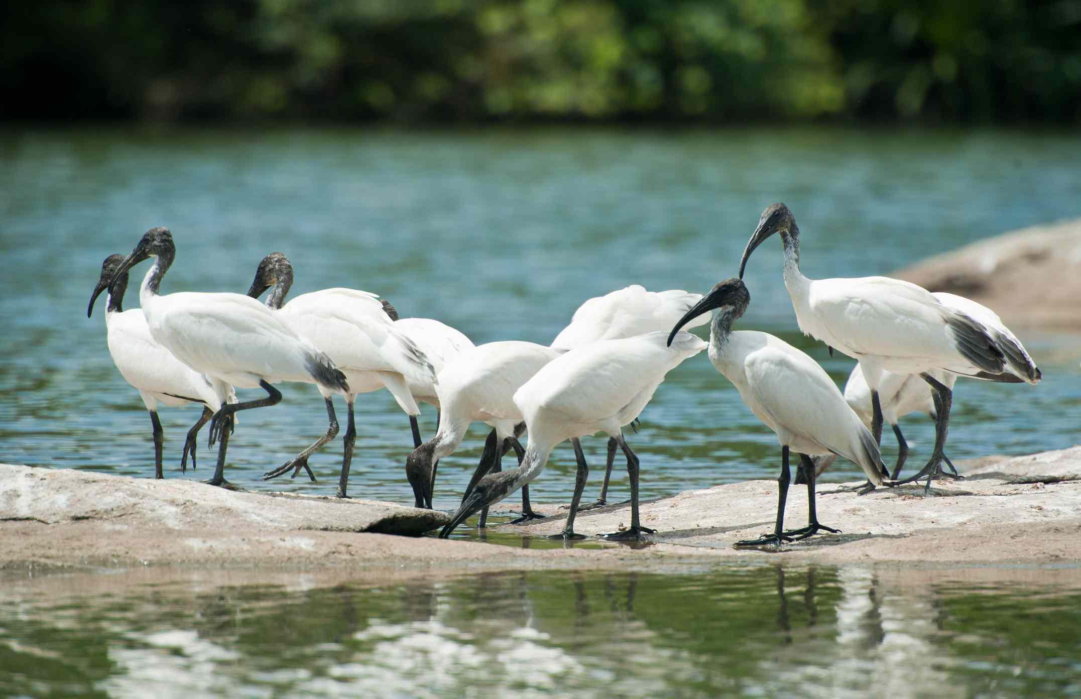 Migratory birds ibis on rock in ranganathittu bird sanctuary at mysore, Karnataka.