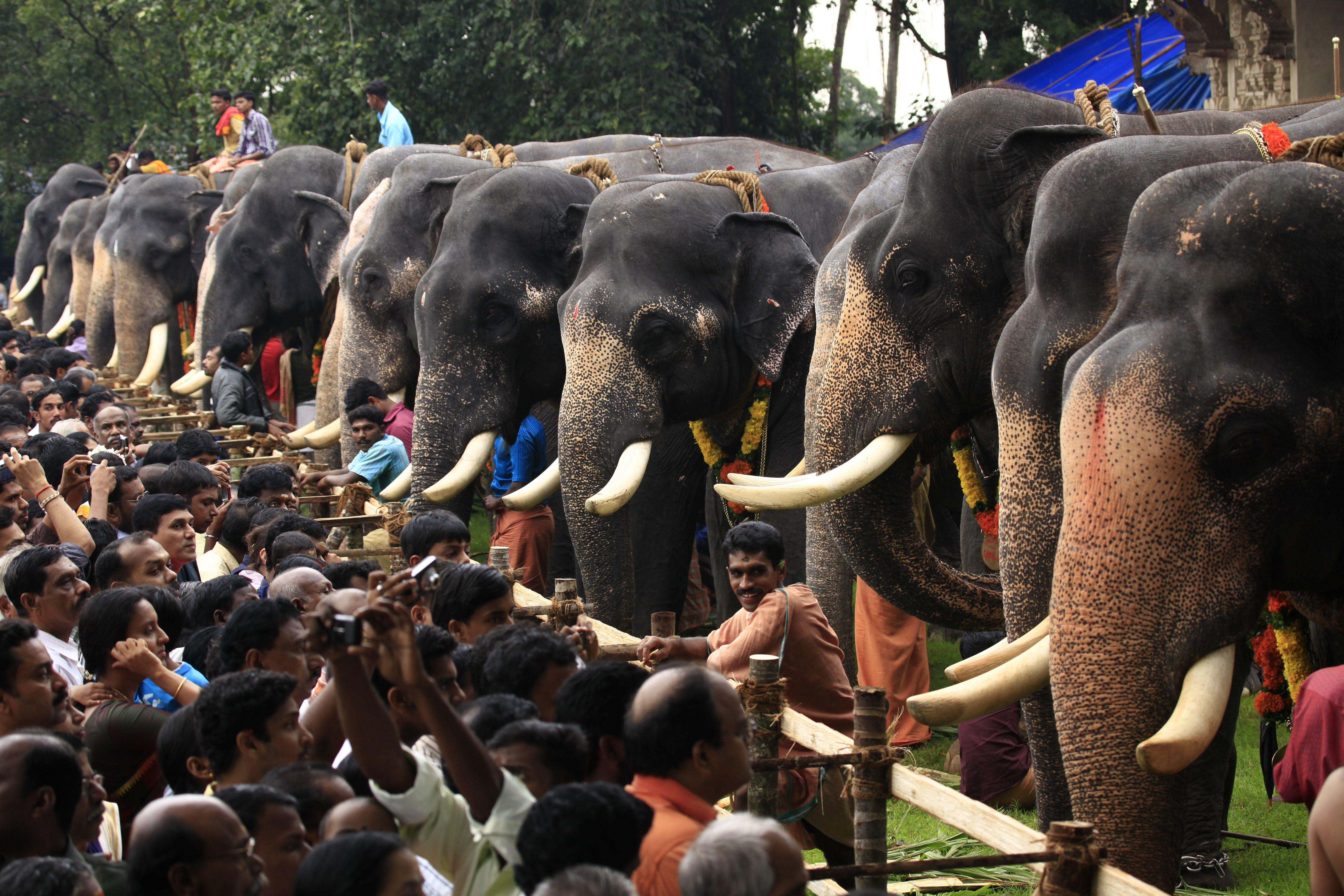 Festival de alimentación de elefantes en Kerala . Festival Bhandara con cúrcuma de color amarillo brillante