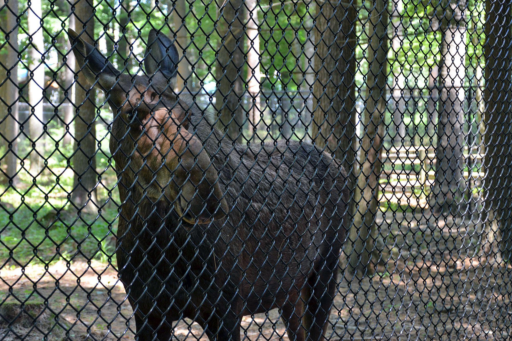 Moose Behind Fence