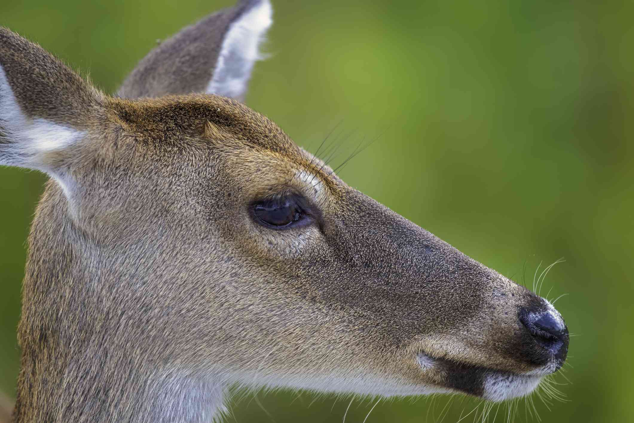Close up head shot of doe/deer