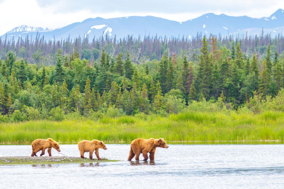 Brown Bear and Two Cubs against a Forest and Mountain Backdrop at Katmai National Park, Alaska
