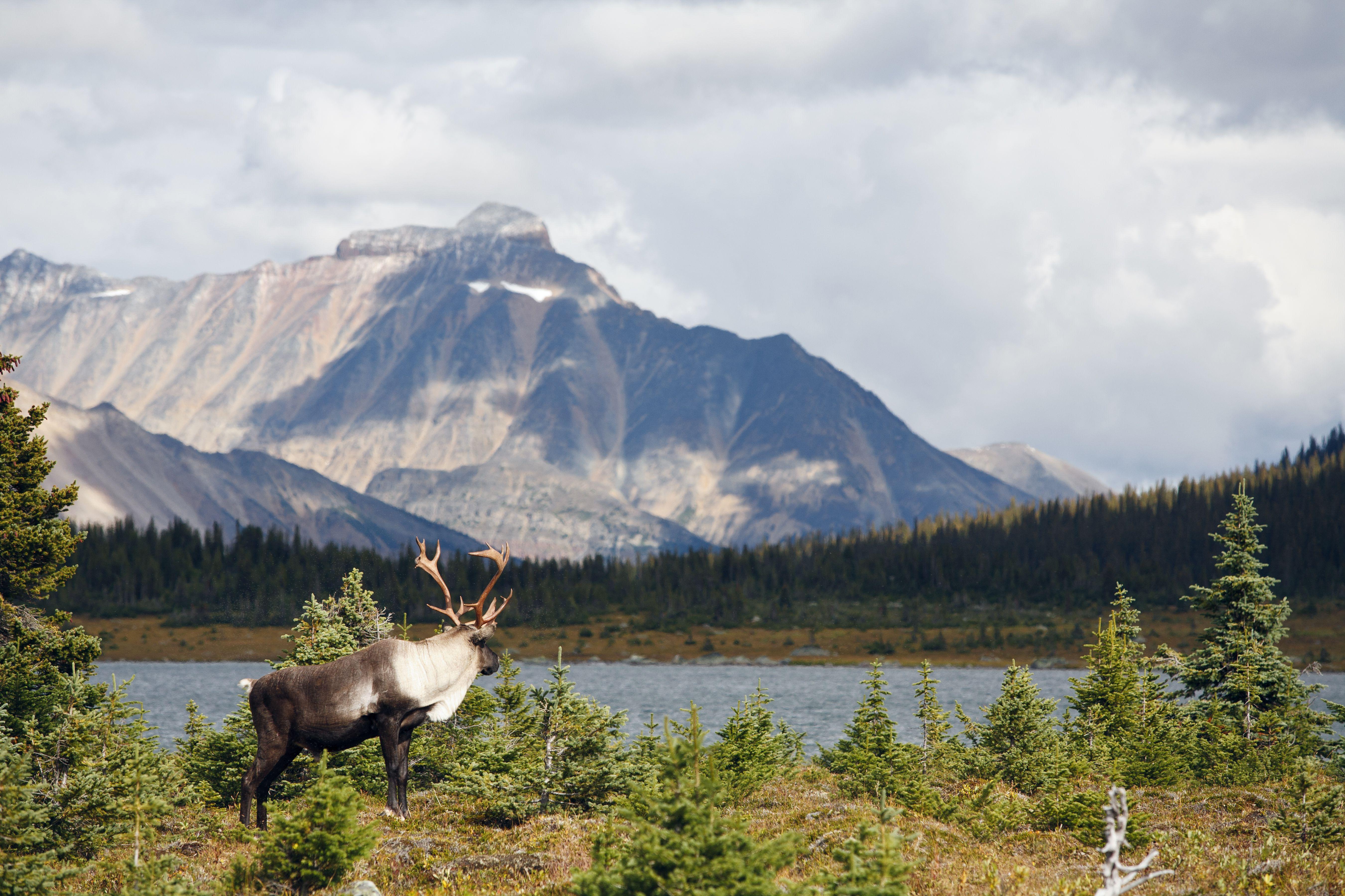 Woodland mountain caribou, Jasper National Park, Alberta, Canada