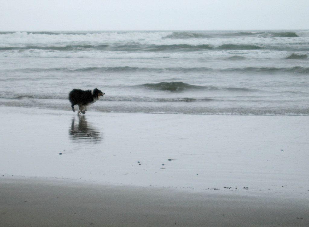 Australian Shepherd running a Dog Beach