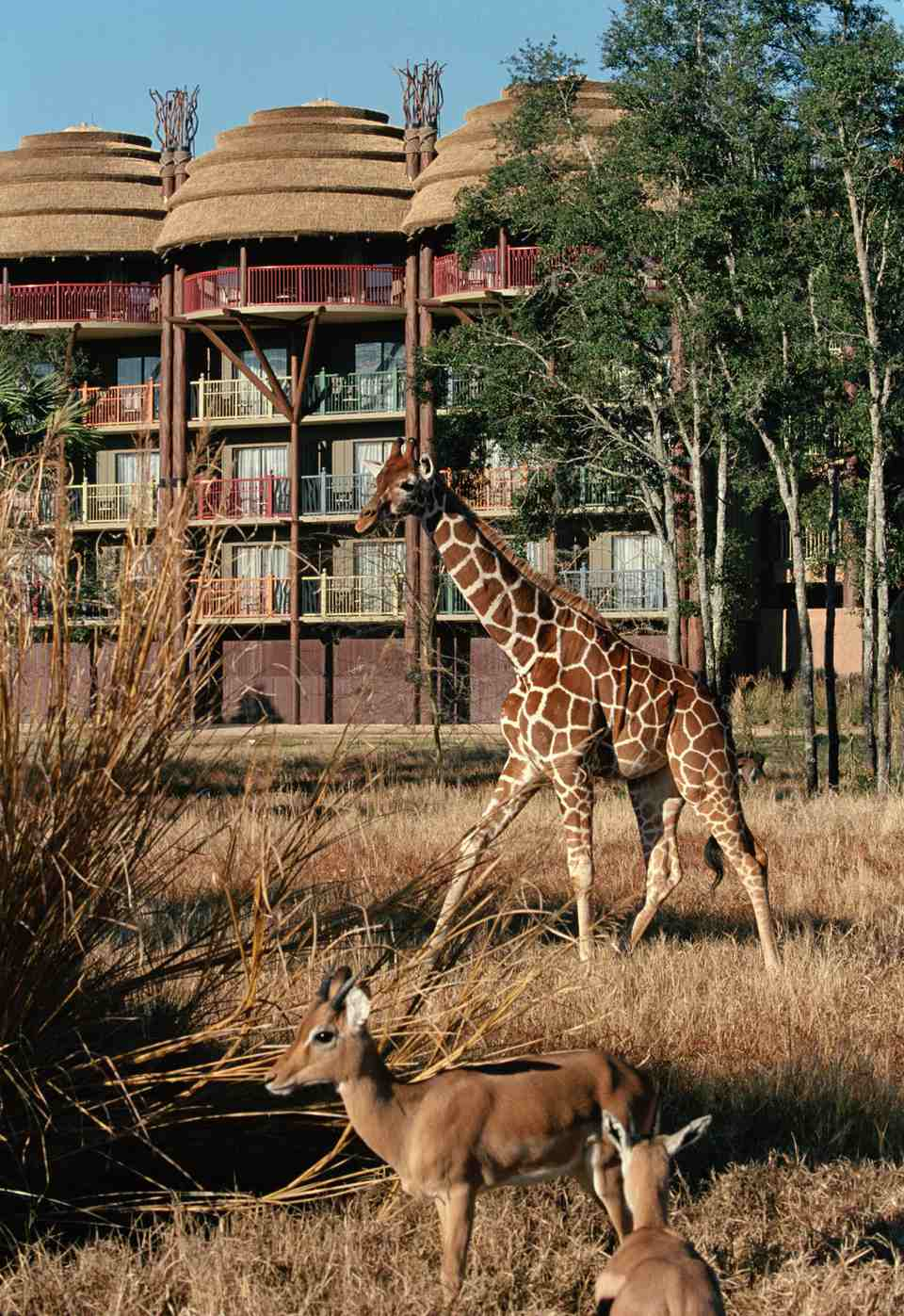 Giraffe and other exotic animals roaming savanah at Disney's Animal Kingdom Lodge
