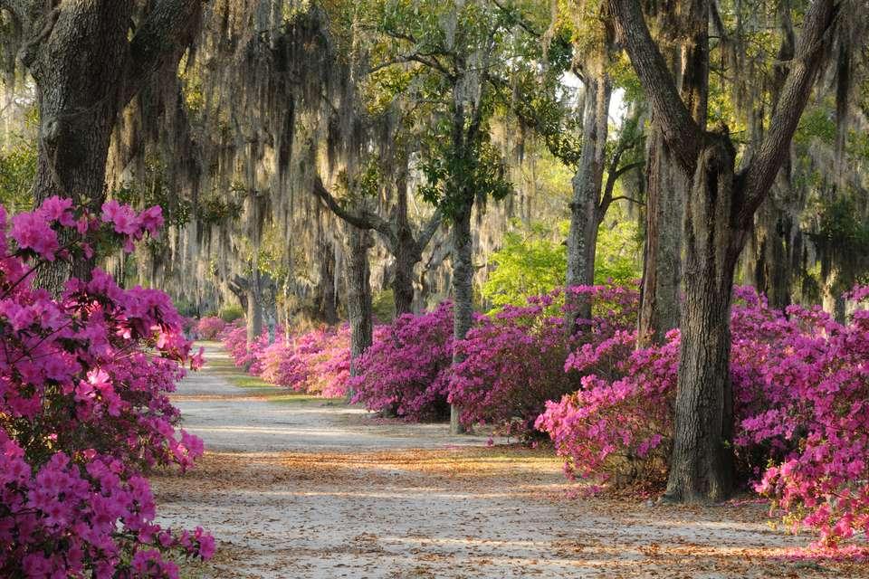 Azaleas on path in spring in Savannah, Georgia