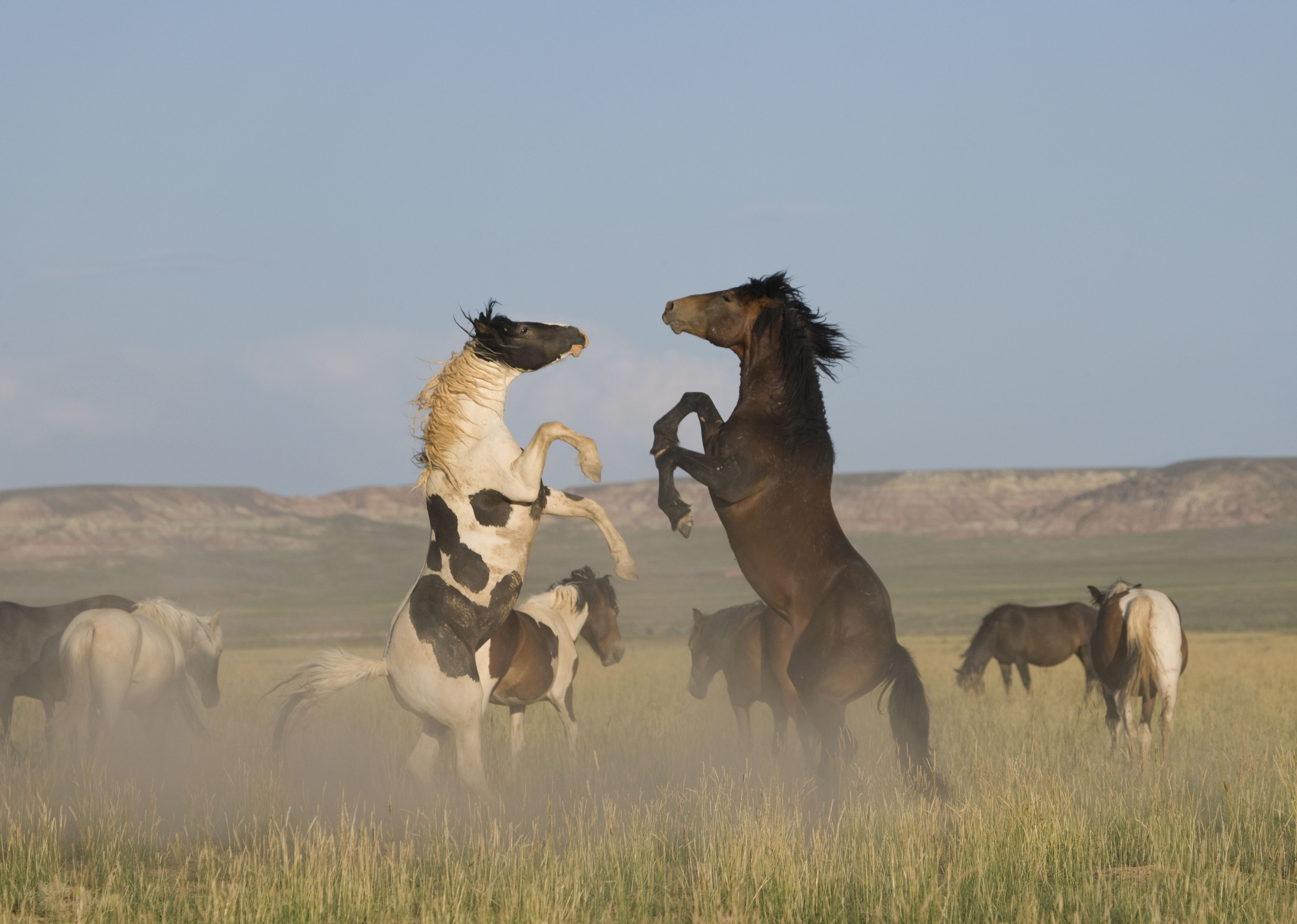 Wild horse / mustang (Equus caballus) two fighting in the McCullough Peaks, Wyoming, USA.