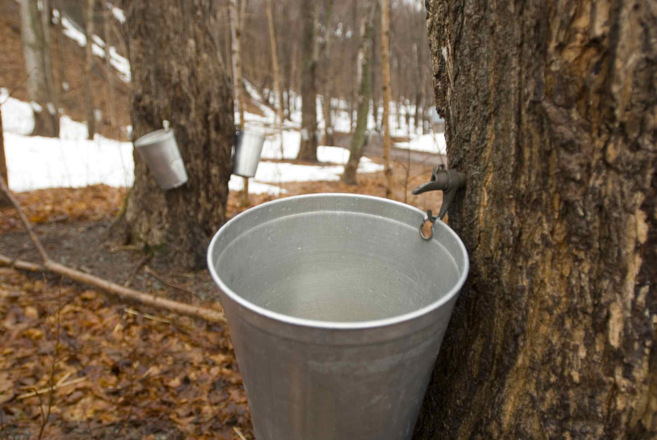 Maple trees tapped for making maple syrup