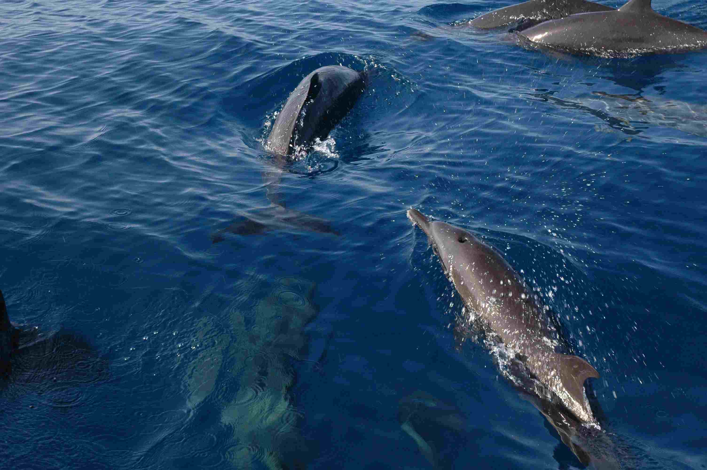 Bottlenose Dolphins - Mexico