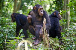 Three adult chimpanzees in Gombe National Park, Tanzania