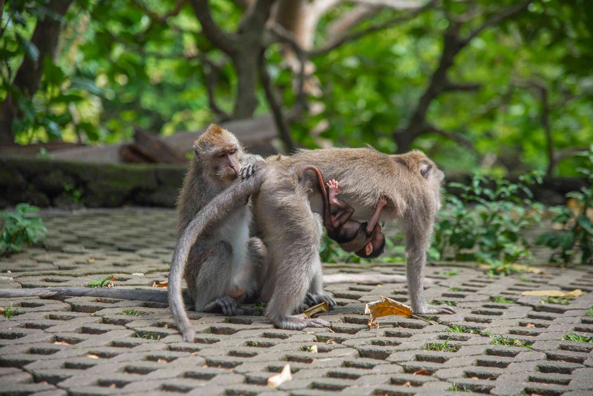 Monkeys in the Ubud Monkey Forest