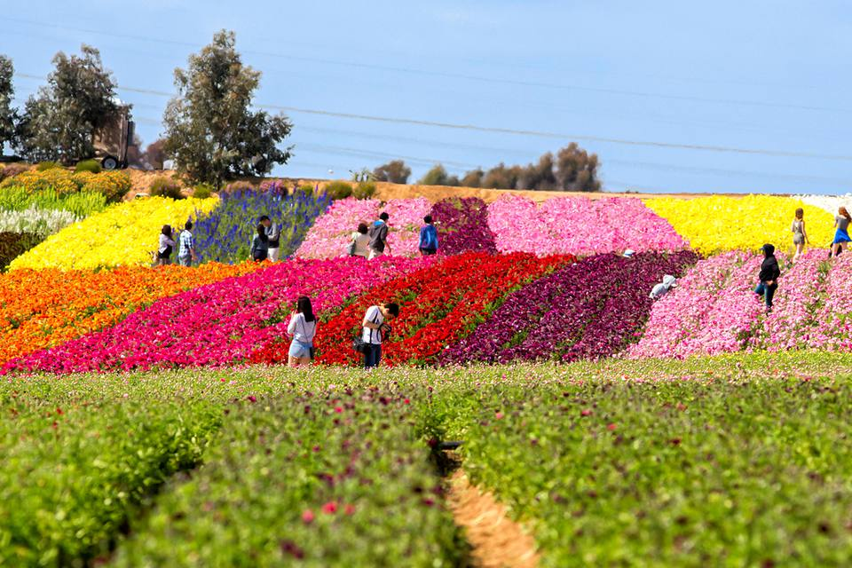 Carlsbad Flower Fields, San Diego in March