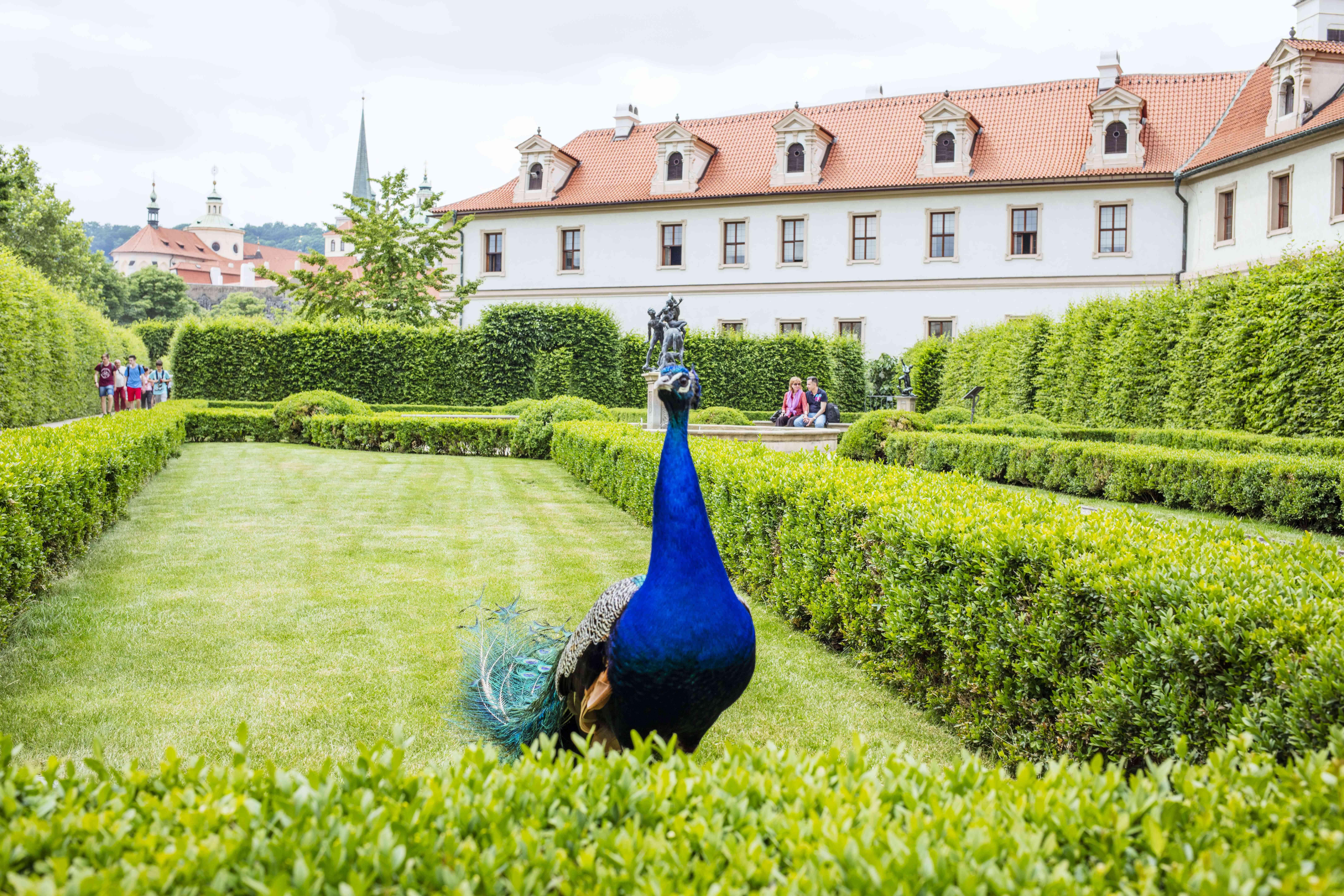 Un pavo real en el jardín Wallenstein