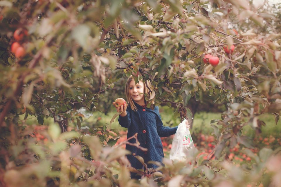 Little girl apple picking in Afton, Minnesota