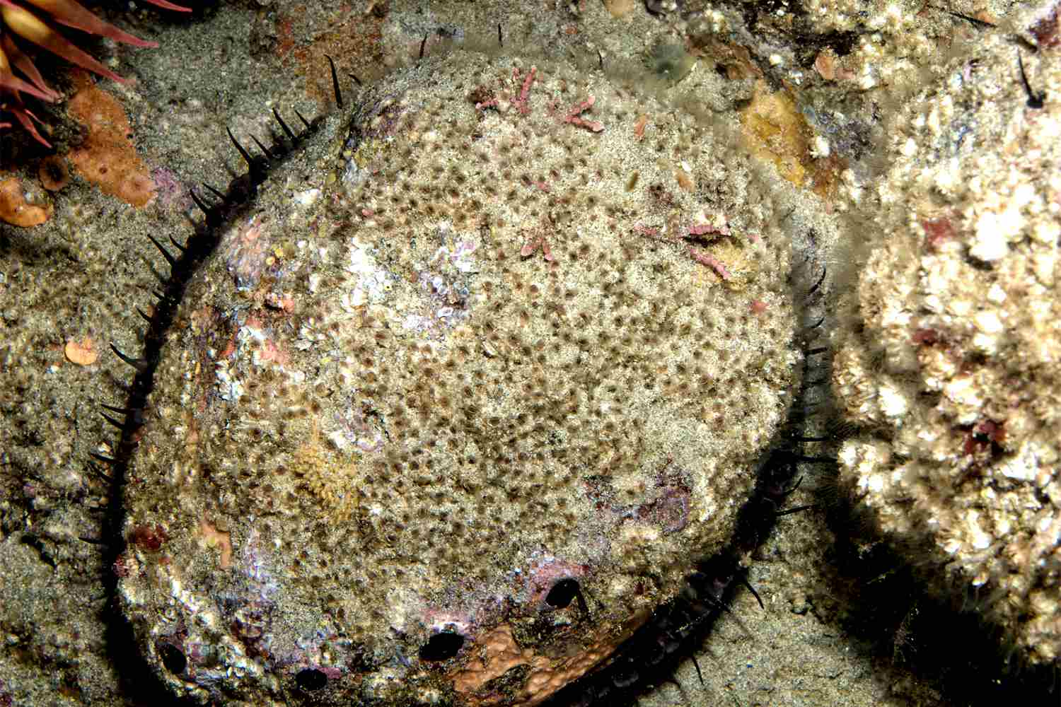 California Red Abalone: Where and How to Find It