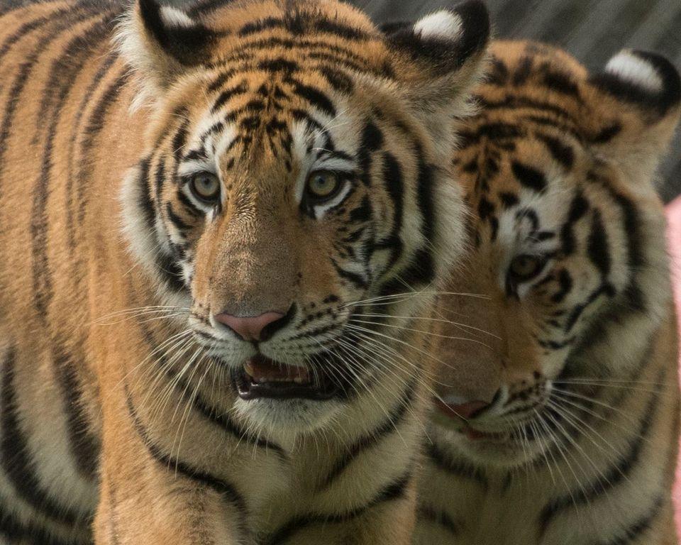 Primer plano de un tigre en el hábitat de Big Cat en Florida