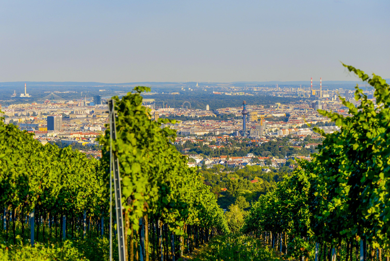 Viena cuenta con muchos viñedos en sus fronteras, que producen principalmente uvas de vino blanco