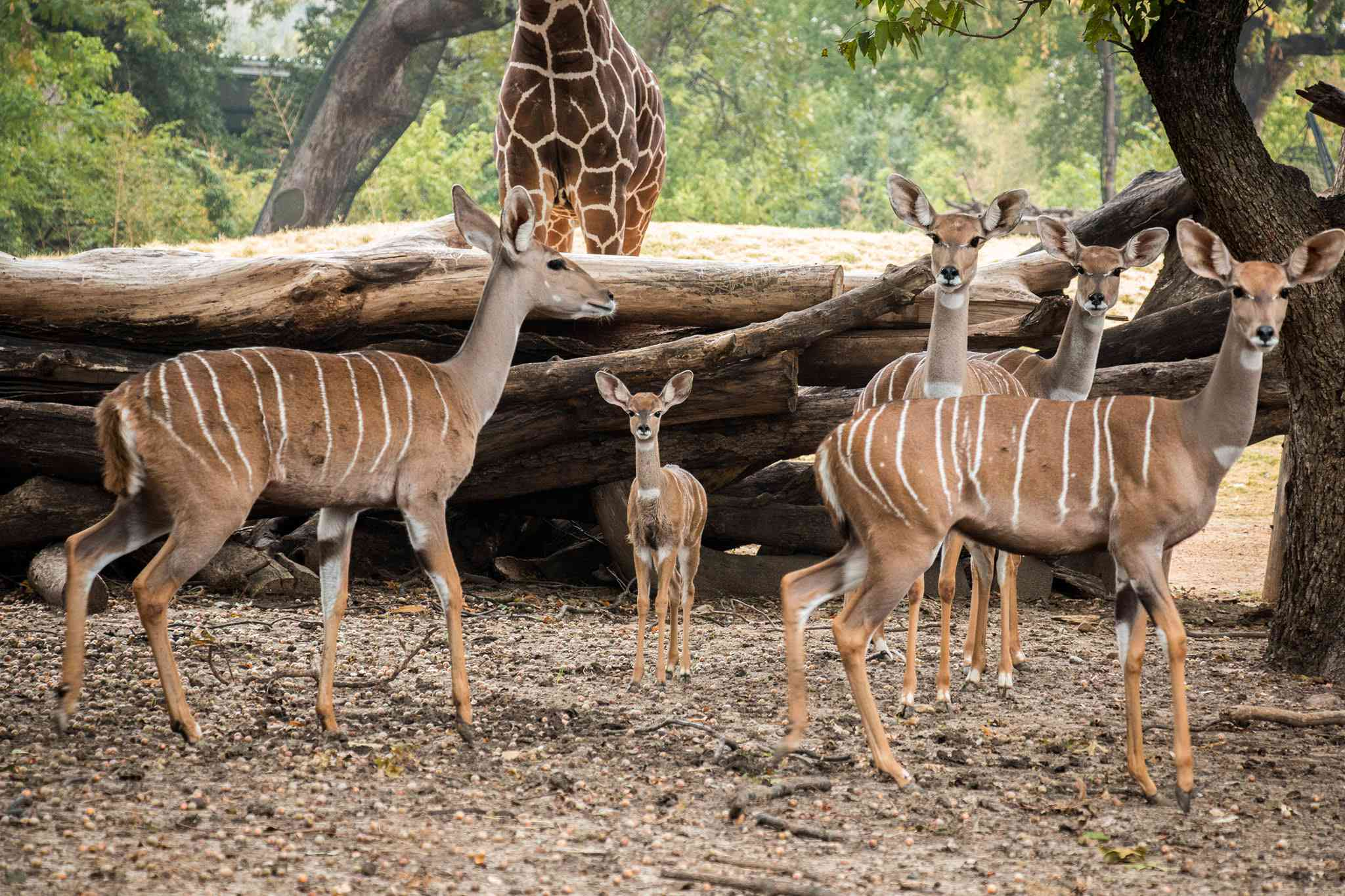A pack of gazelle and one giraffe in the background