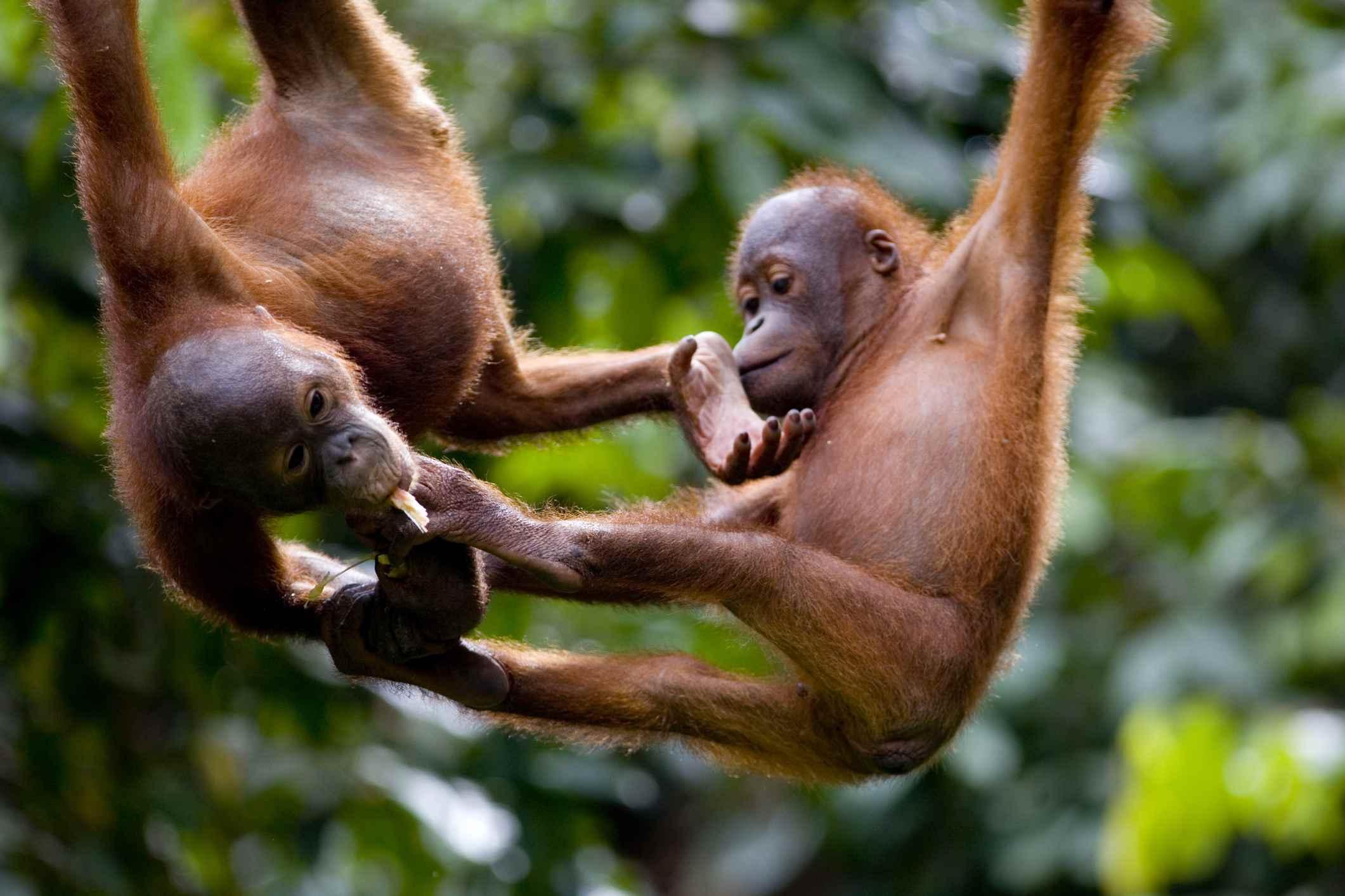 5 Places to See Orangutans in Borneo