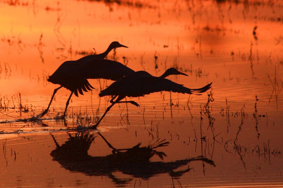 Cranes taking flight at Bosque del Apache National Wildlife Refuge, New Mexico