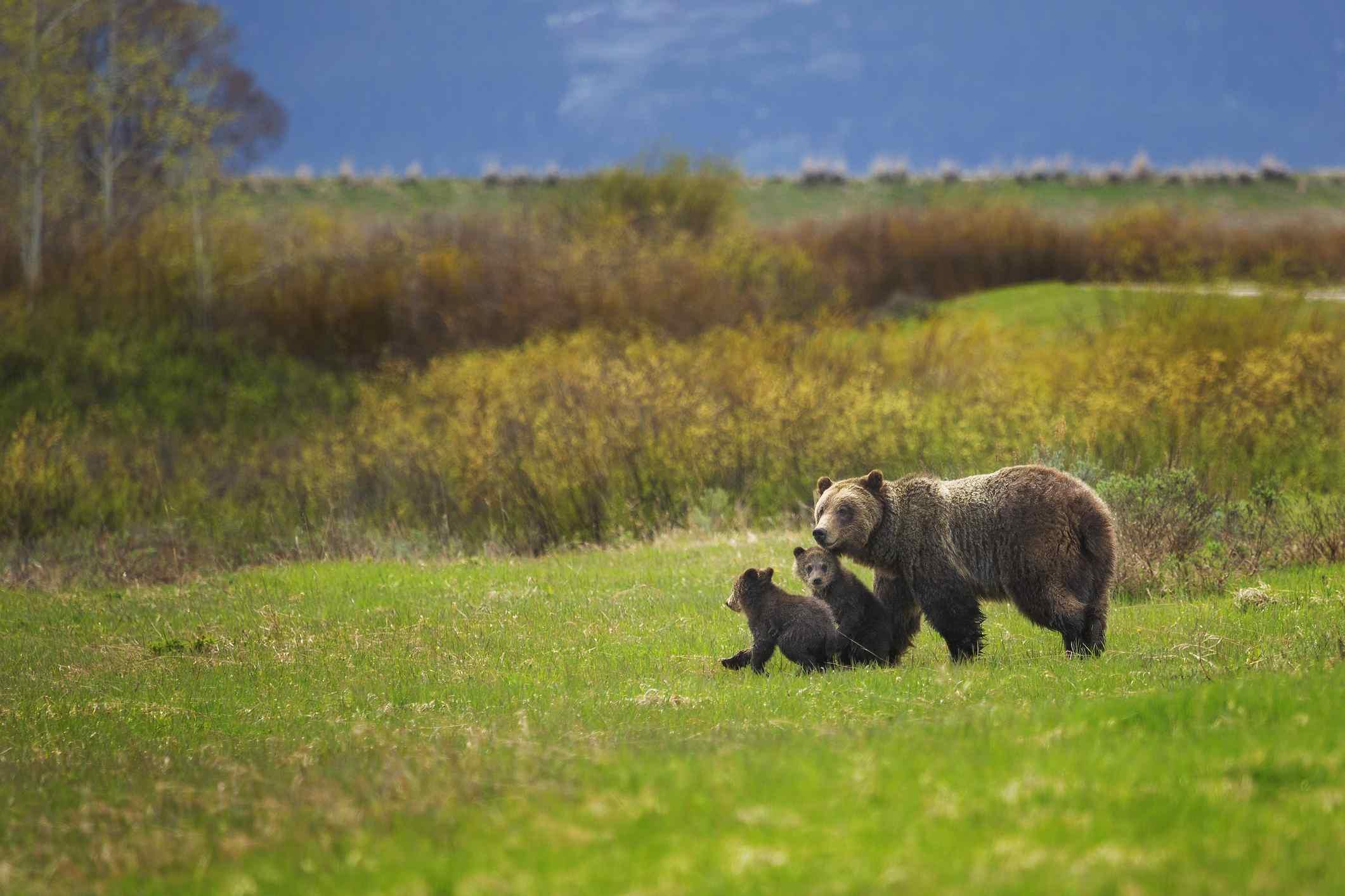 Familia de osos en un paseo