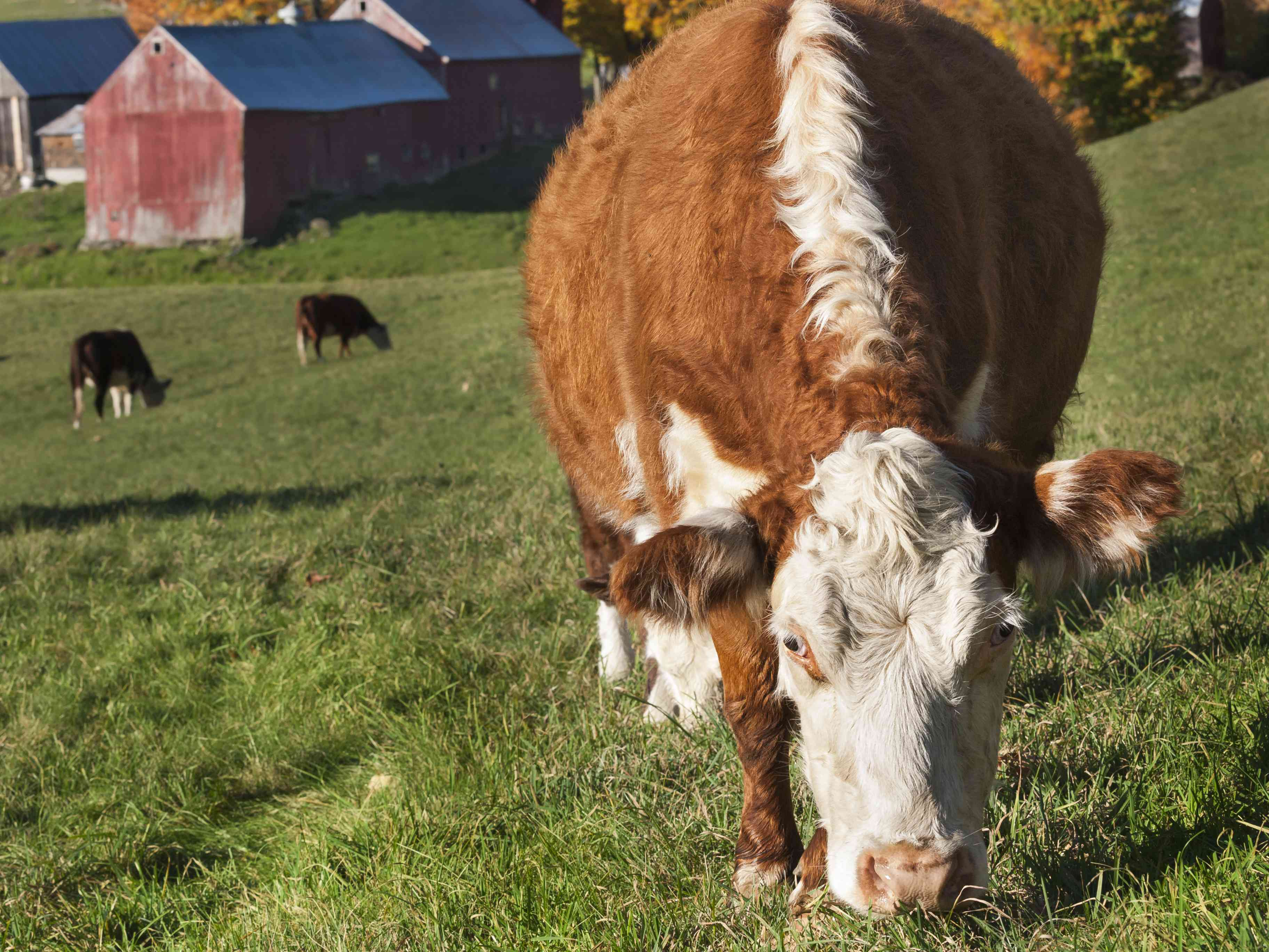 Hereford Cow in Woodstock, Vermont