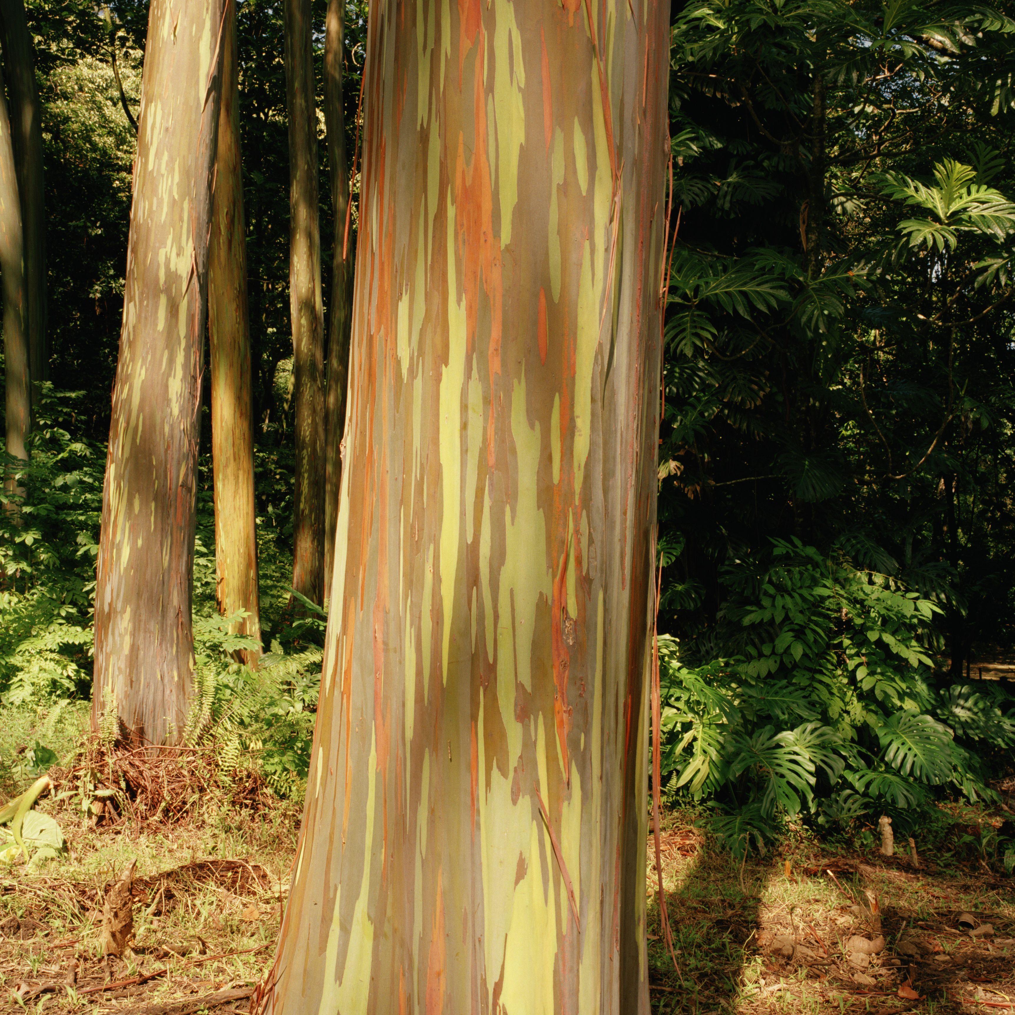 Rainbow Eucalyptus Trees, Keanae Arboretum