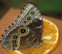 Aruba Butterfly Museum inhabitant snacks on an orange slice