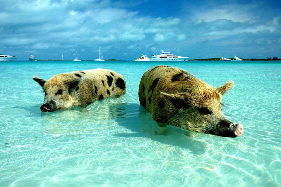 Two pigs standing in clear ocean water