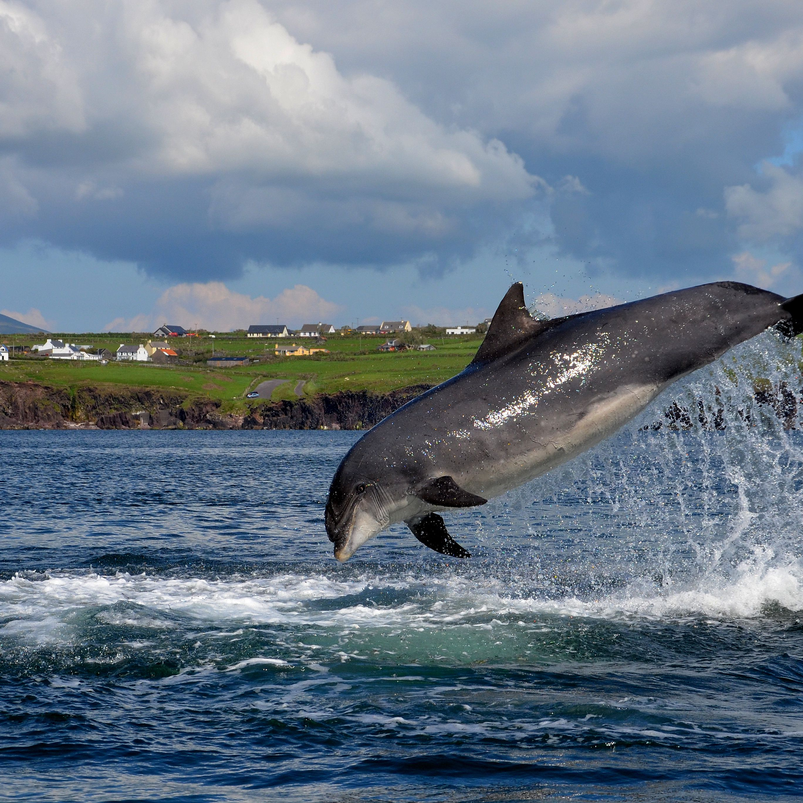 Fungie Dingle S Dolphin But Not A Wild Animal You can get a boat ride out to swim with him. fungie dingle s dolphin but not a