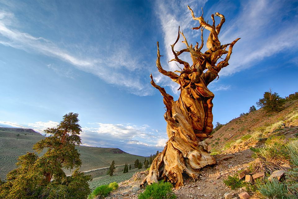 Bristlecone Pine Tree in California's White Mountains