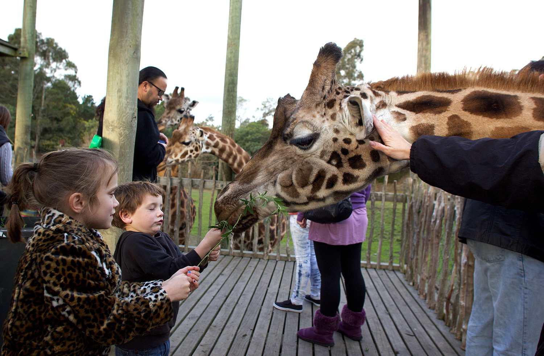 Giraffe feeding time at Orana Wildlife Park