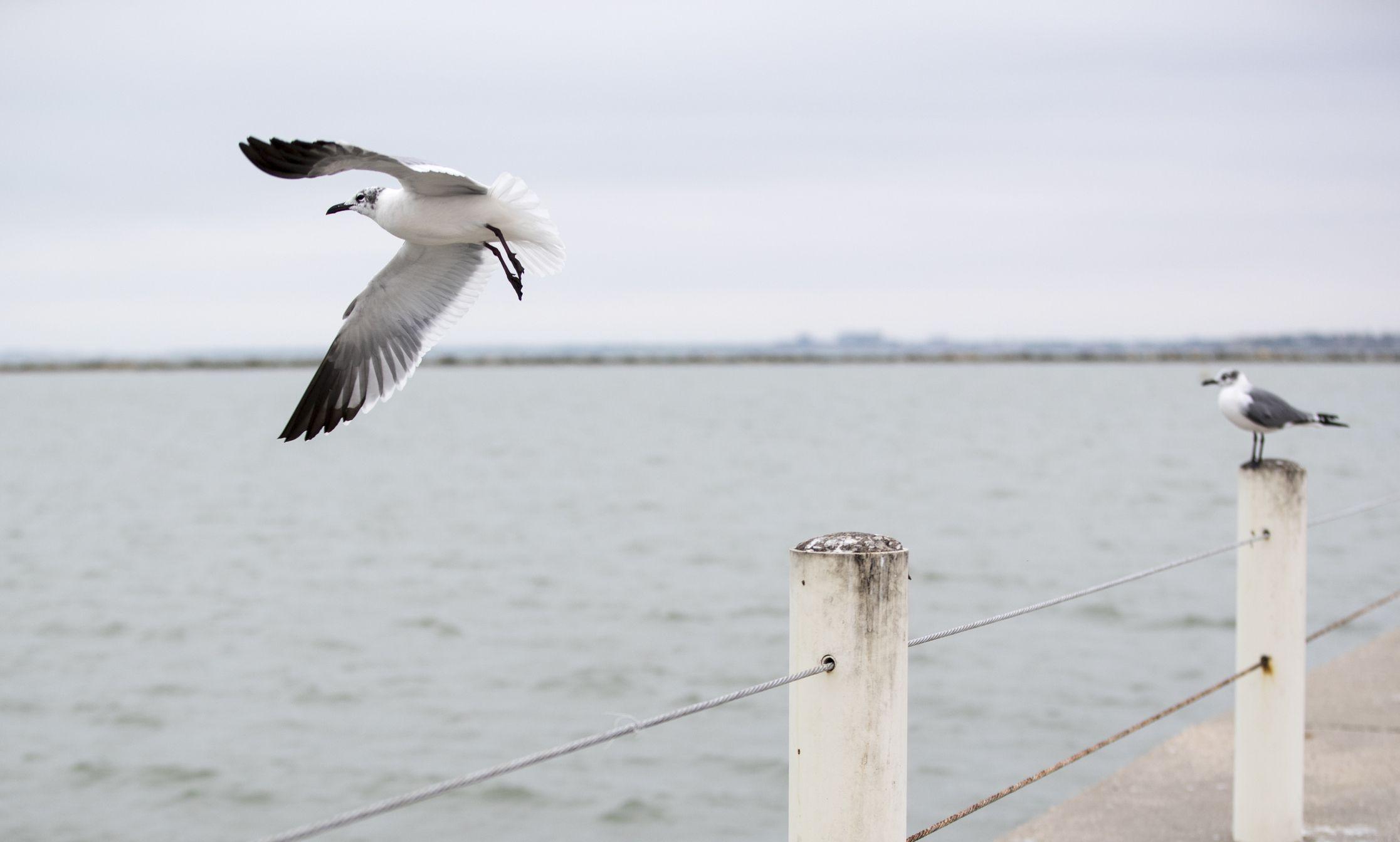 Laughing Gull in Corpus Christi