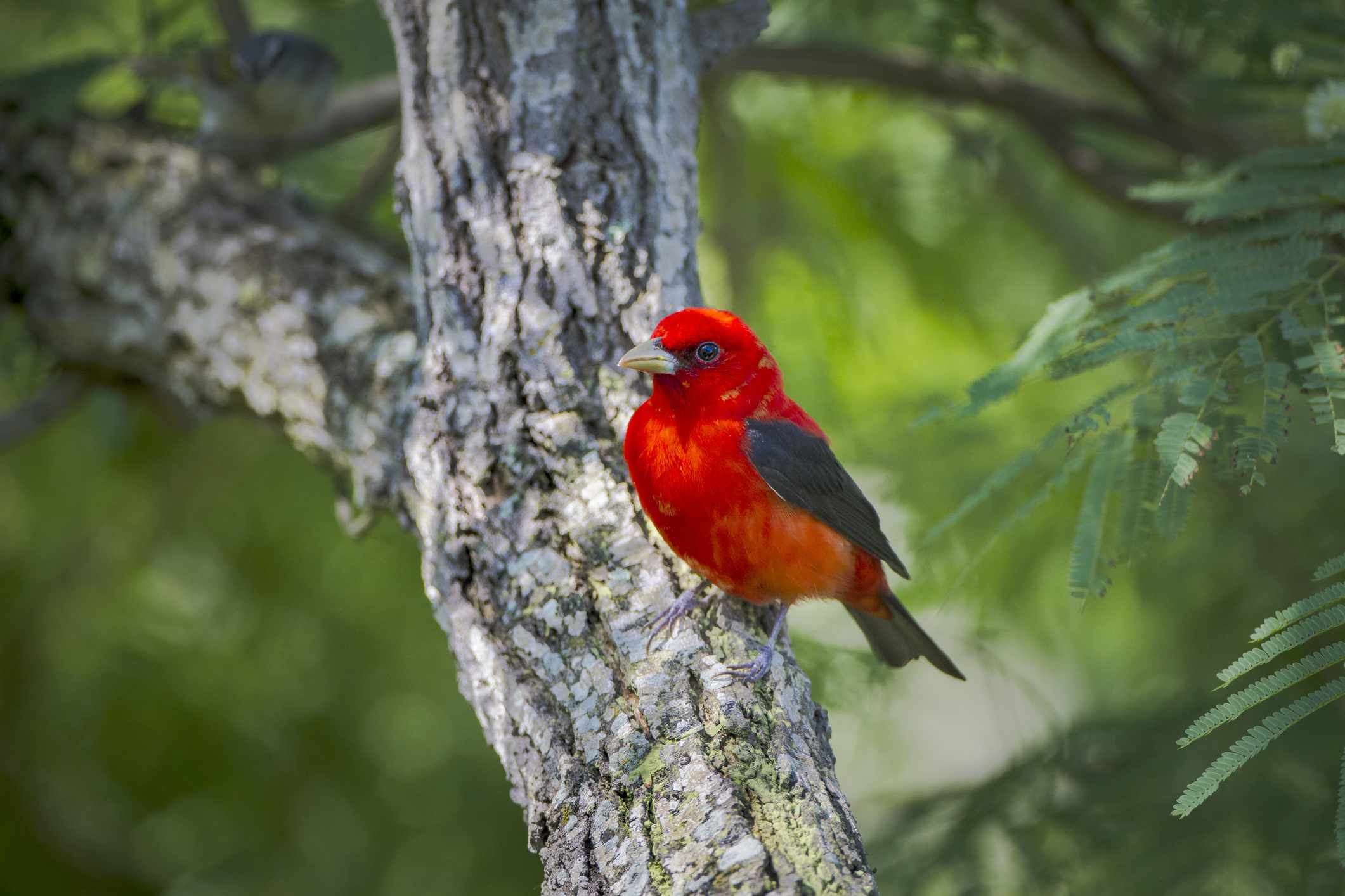 Scarlet Tanager (Piranga ludoviciana) male perched, South Padre Island