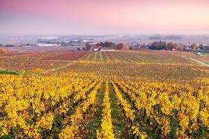 Vineyards in autumn at sunrise, Cote d'Or, Burgundy, France