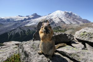 A squirrel eating something on top of Mt Rainier