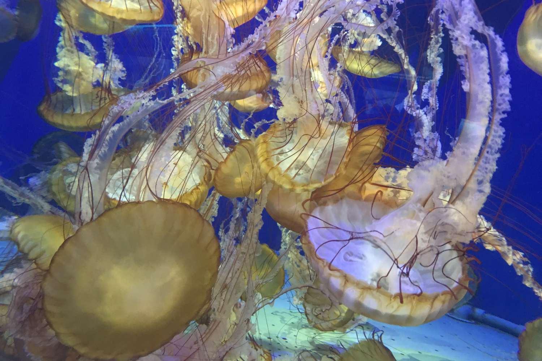 Jellies at the Aquarium of the Pacific