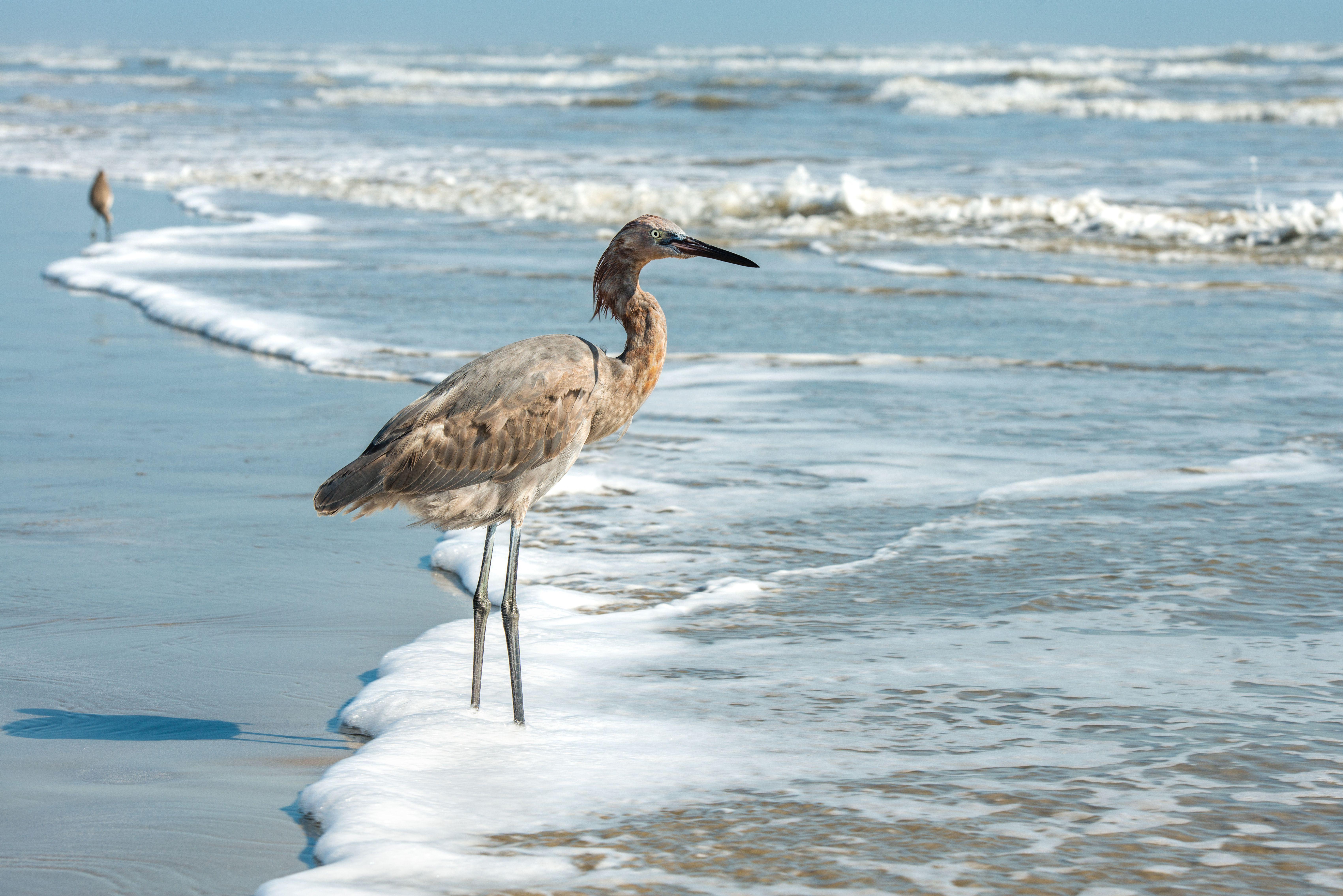 Great Blue Heron standing on the beach in Port Aransas, Texas