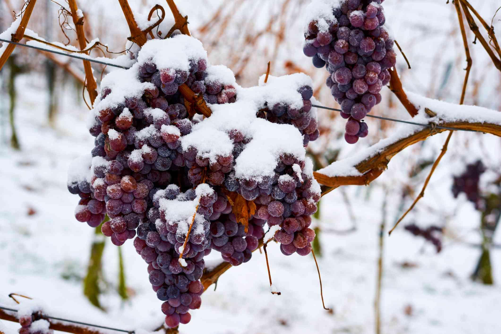 Frozen Ice Wine Grapes