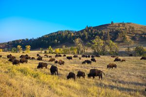 Bison grazing, Custer State Park, South Dakota