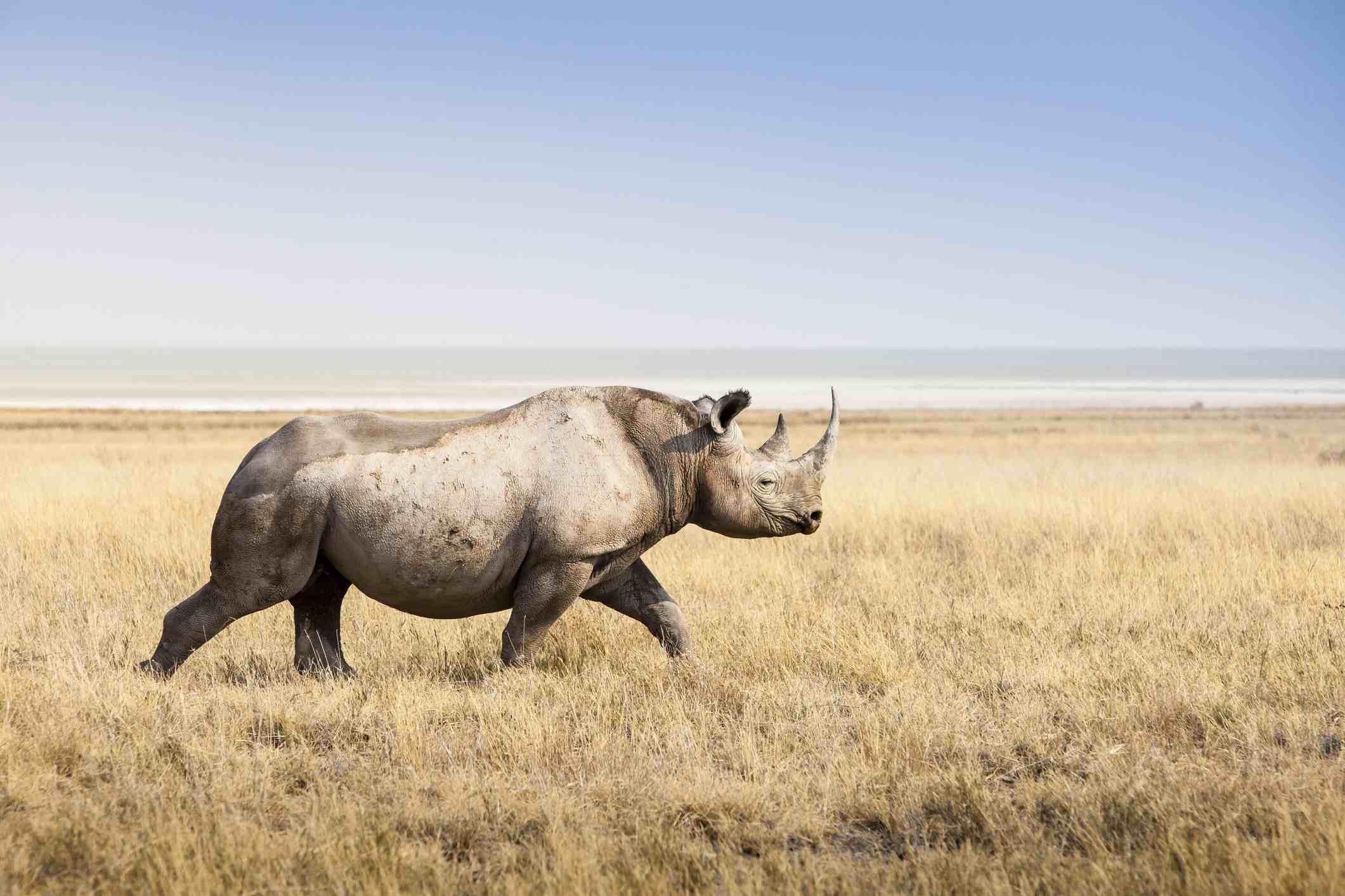 Negro rinoceronte, Parque Nacional de Etosha en Namibia